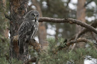 perched in a pine tree... Great Grey Owl *Strix nebulosa*