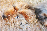 lion lying in the grass, South Africa
