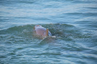 Common bottlenose dolphin showing dorsal fin