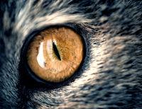Closeup macro shot of a yellow single cat eye with slit like iris. The feline has graceful grey fur in natural light.