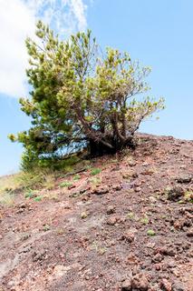 pine tree on red volcanic soil on slope of Etna