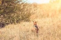Wild red fox near HIrtshals