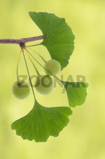Ginkgo als Heilpflanze für Alternativmedizin