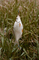 Redfin fish hanging on rod in front of green grass, side view, selective focus