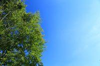 Hintergrund: Baumkrone vor blauem Himmel Background: tree crown against a blue sky