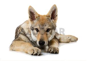 Junger Wolfshund