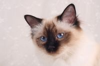 SACRED CAT OF BIRMA, BIRMAN CAT, ADULT, SEALPOINT, CLOSEUP,