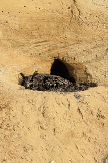 brütend... Europäischer Uhu *Bubo bubo* sitzt auf dem Nest in einer Sandgrube