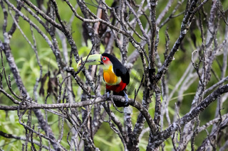 Red breasted toucan sitting on a branch in Atlantic forest, Itatiaia, Brazil