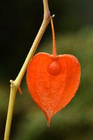 bladder cherry, Chinese lantern, Japanese lantern,