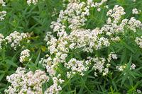 Nordisches Labkraut, Galium boreale - northern bedstraw, Galium boreale a white wildflower