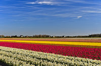 Cultivation of daffodils and tulips for the production of flower bulbs, Noordwijkerhout, Netherlands
