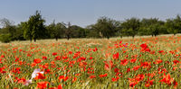 Poppies in cornfield 7