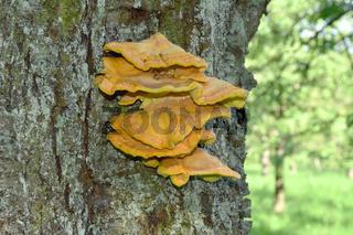 Schwefelporling;  Laetiporus sulphureus;