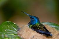 Humingbird Mom