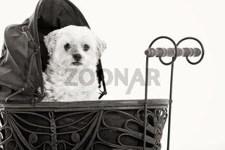 Maltezer in the pram