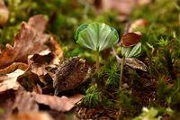 beech; beech seedling;