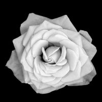 One rose flower isolated on black background