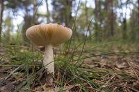 Emetic russula, Russula emetica
