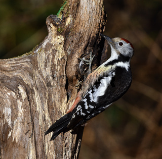Specht; Mittelspecht; Middle Spotted Woodpecker; Leiopicus medius