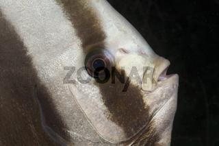 Kopf Langflossen-Fledermausfisch