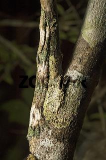 Tarnung eines Blattschwanz-Gecko (Uroplatus sikorae), Andasibe Nationalpark, Madagaskar