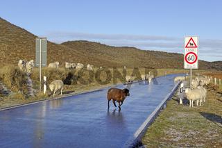 Schafe auf der Straße, Ellenbogen, List, Sylt, Nordfriesland, Schleswig-Holstein, Deutschland