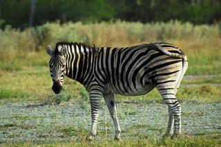 Steppenzebra (Equus burchelli)