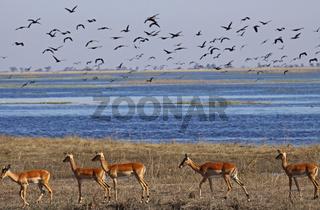 Impalas am Chobe-Fluss im Chobe Nationalpark Botswana