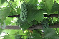 Grapes with green leaves 20543