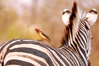 Red-billed oxpecker jumping on a zebra, South Africa