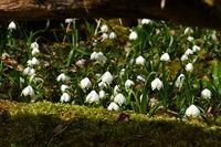 spring snowflake;