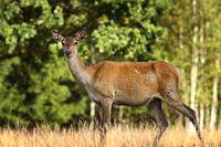 curious red deer doe in a glade ( Cervus elaphus )