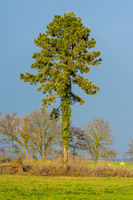 Single standing pine tree with ivy in the sunshine in front of blue sky