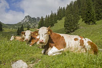 Cows with Ruchenköpfe in background