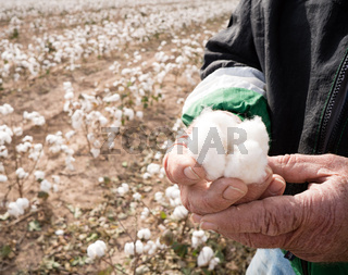 Farmer's Weather Hands Hold Cotton Boll Checking Harvest