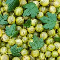 Ripe Green Organic Berries Gooseberries. Fresh Gooseberry Background. Greenery Color - Trend 2017