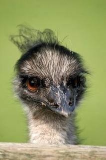 Grosser Emu