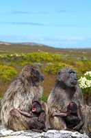 baboons at national park Cape of Good Hope, South Africa