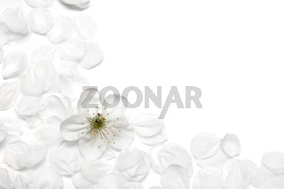 spring flowers of sakura on white background