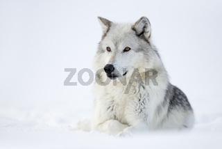 ein Wolf... Timberwolf *Canis lupus*