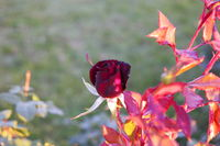 Red dying rose in autumn garden with a lot of copyspace