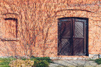 An old brick wall and wooden closed door surrounded by leafless vines