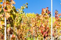 A vineyard with red foliage in front of blue sky