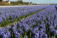Anbaufläche mit blühenden blauen Hyazinthen