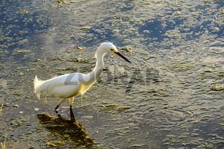 Young white heron walking