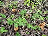 Common Morels or Yellow Morels - Morchella esculenta
