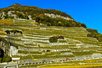 Chasselas grapevines in steep terrace cultivation, Aigle les Murailles vineyard, Aigle,Switzerland