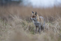 concentrated... Red Foxes *Vulpes vulpes*