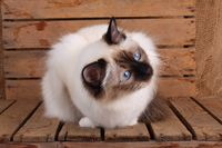 SACRED CAT OF BIRMA, BIRMAN CAT, ADULT, SEAL-POINT, LOOKING INTERESTEDLY,